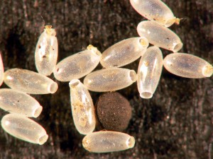 bed bug eggs 2