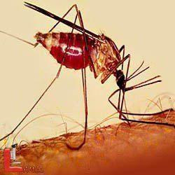 مشخصات پشه خونخوار آنوفل / پشه آنوفل عامل بیماری سوپر مالاریا