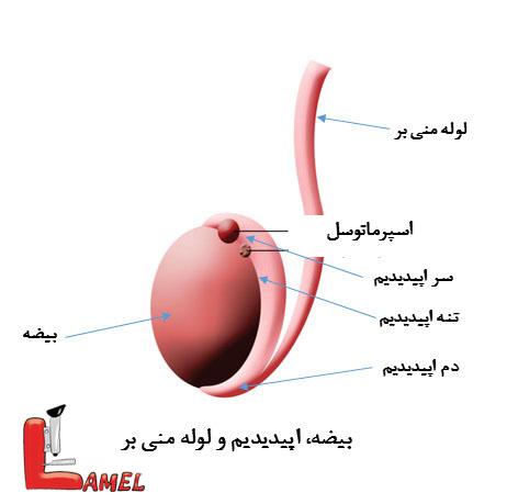 اسپرماتوسل (Spermatocele) چیست؟ /کیست سلول های نطفه ساز یا اسپرماتوسل